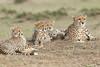 Cheetah_Family_Portraits_Mara_Kenya_Asilia_20150028