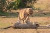 Cheetah_Cubs_Mara_Kenya_Asilia_20150225