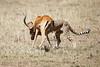 Cheetah_Feast_Mara_Kenya_Asilia_20150144