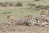 Cheetah_Family_Portraits_Mara_Kenya_Asilia_20150035