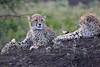 Cheetah_Family_Phinda_2016_0104