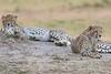 Cheetah_Cubs__Mara_Kenya_Asilia_20150001