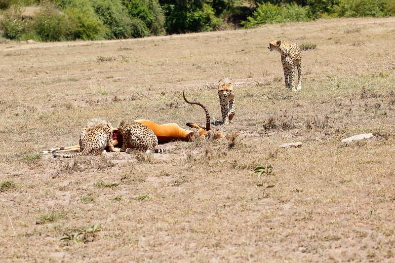 Cheetah_Feast_Mara_Kenya_Asilia_20150043