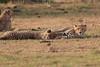 Cheetah_Cubs_Mara_Kenya_Asilia_20150289