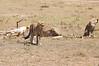 Cheetah_Feast_Mara_Kenya_Asilia_20150068