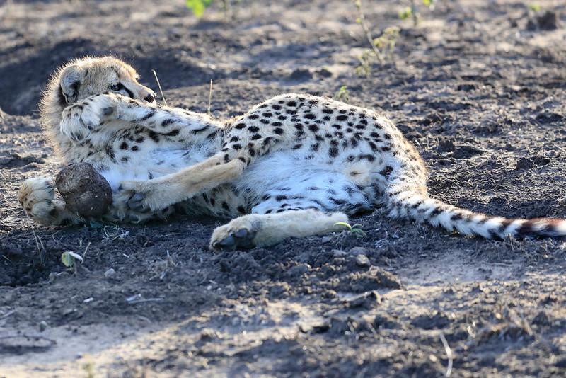 Young_Cheetah_Playing_With_Ball_Phinda_2016_0033
