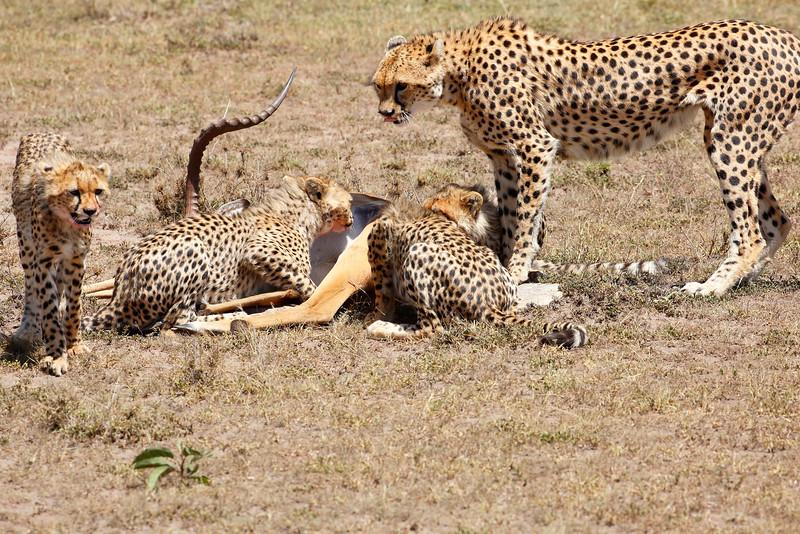 Cheetah_Feast_Mara_Kenya_Asilia_20150089