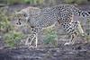 Cheetah_Family_Phinda_2016_0122
