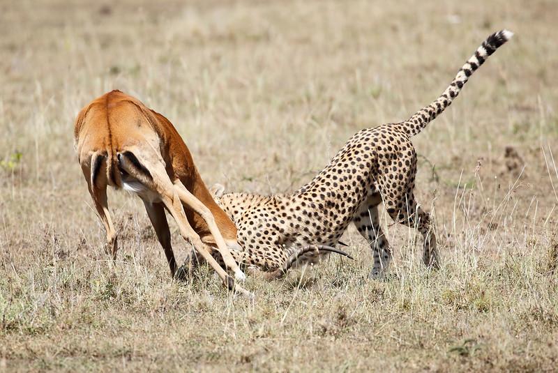 Cheetah_Feast_Mara_Kenya_Asilia_20150177