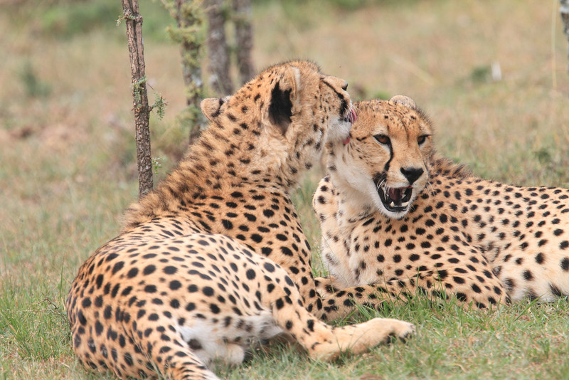 Cheetah_Mara_Asilia_Kenya0057