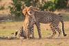 Cheetah_Cubs_Mara_Kenya_Asilia_20150233