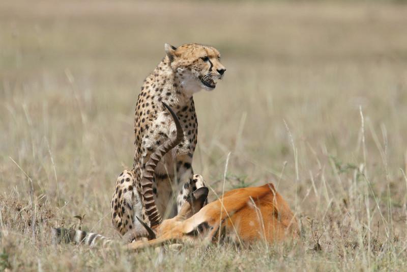 Cheetah_Feast_Mara_Kenya_Asilia_20150236