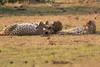 Cheetah_Cubs_Mara_Kenya_Asilia_20150201