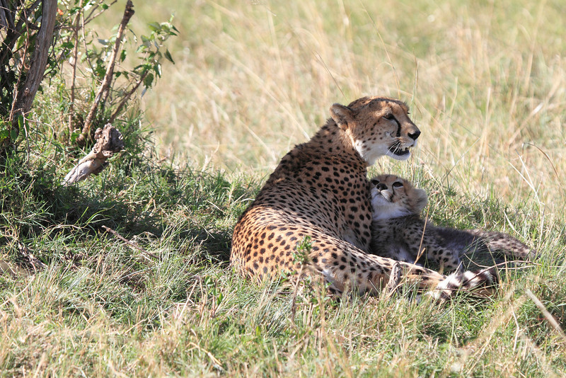 Cheetah Cub Mara Topi House