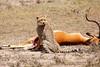 Cheetah_Feast_Mara_Kenya_Asilia_20150032