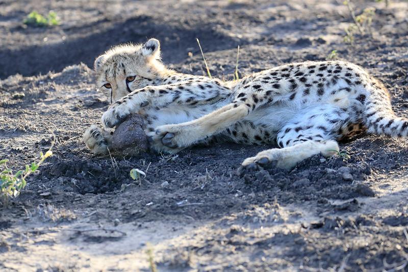 Young_Cheetah_Playing_With_Ball_Phinda_2016_0038