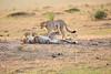 Cheetah_Cubs_Mara_Kenya_Asilia_20150110