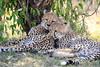 Cheetah_Cubs_Mara_Kenya_Asilia_20150073