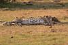 Cheetah_Cubs_Mara_Kenya_Asilia_20150296
