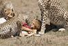 Cheetah_Feast_Mara_Kenya_Asilia_20150256