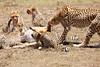 Cheetah_Feast_Mara_Kenya_Asilia_20150083