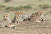 Cheetah_Family_Portraits_Mara_Kenya_Asilia_20150023