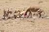 Cheetah_Feast_Mara_Kenya_Asilia_20150063