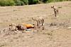 Cheetah_Feast_Mara_Kenya_Asilia_20150045