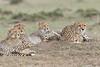 Cheetah_Family_Portraits_Mara_Kenya_Asilia_20150046