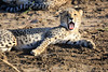 Cheetah_Family_Phinda_2016_0012