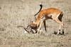 Cheetah_Feast_Mara_Kenya_Asilia_20150149