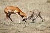 Cheetah_Feast_Mara_Kenya_Asilia_20150156