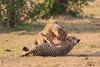 Cheetah_Cubs_Mara_Kenya_Asilia_20150219