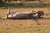 Cheetah_Cubs_Mara_Kenya_Asilia_20150294