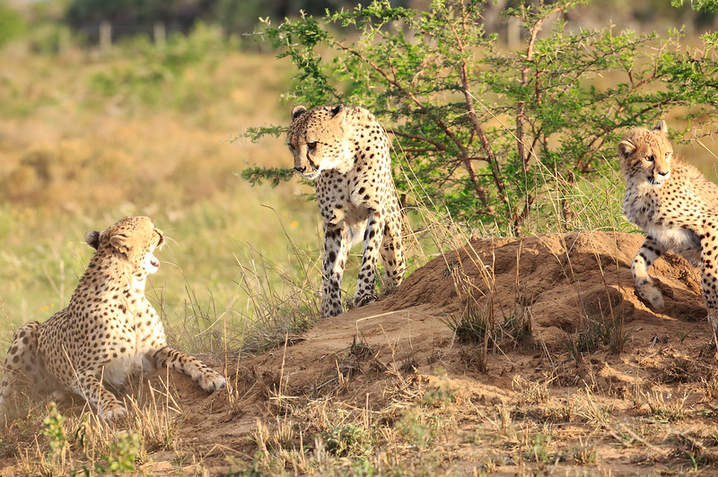 Cheetah_Adventure_Phinda_2016_0021