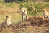 Cheetah_Adventure_Phinda_2016_0021