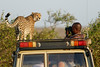 Cheetah_Family_Vehicle_Mara_Kenya_Asilia_20150020