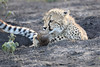 Young_Cheetah_Playing_With_Ball_Phinda_2016_0070