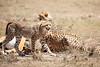 Cheetah_Feast_Mara_Kenya_Asilia_20150222