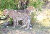Cheetah_Cubs_Mara_Kenya_Asilia_20150044