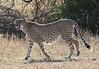 Cheetah Tanzania Serengeti