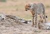 Cheetah_Cubs__Mara_Kenya_Asilia_20150011