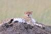 Cheetah_Mara_Asilia_Kenya0060