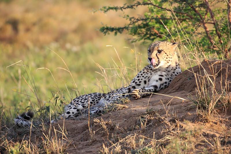 Cheetah_Adventure_Phinda_2016_0093