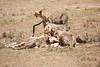 Cheetah_Feast_Mara_Kenya_Asilia_20150110
