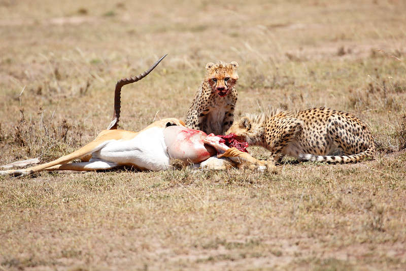 Cheetah_Feast_Mara_Kenya_Asilia_20150136