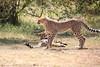 Cheetah_Cubs_Mara_Kenya_Asilia_20150051
