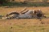 Cheetah_Cubs_Mara_Kenya_Asilia_20150178
