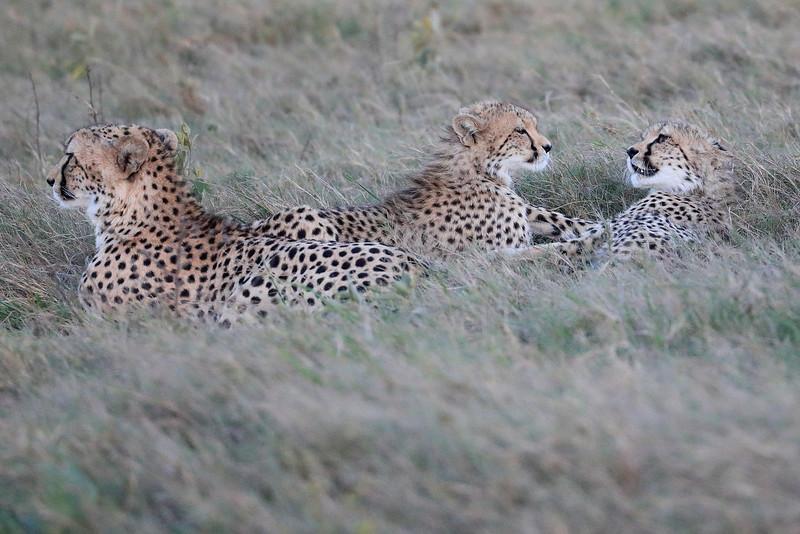 Cheetah_Family_Phinda_2016_0093
