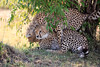 Cheetah_Cubs_Mara_Kenya_Asilia_20150036